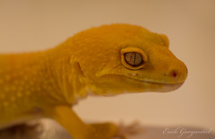 Cheetos (ErickSG) Tags: tgareptiles leopardgecko