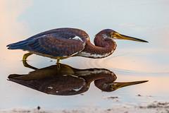 Tricolored heron X 2 (Explored 2017.01.13) (DonMiller_ToGo) Tags: wildlife nature onawalk birds outdoors birdwatching heron d810 reflection florida