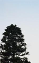 Tree by the Sea [Nikon F5 Film] (Aviator195) Tags: film filmphotography filmisnotdead filmphotos filmscan filmphoto 35mm 35mmfilm fujifilmsuperia fujifilm superia superia200 pushprocessed nikon nikonfilm nikonf5 f5 grain tree nature monavale park