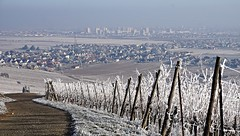 (EXPLORE) Les vignes givrées, Wintzenheim et Colmar  -  The covered in frost vineyards (Philippe Haumesser Photographies (+ 4000 000 views) Tags: outside village ville city givre frost hiver winter vigne vignes vine vines vignoble vineyard vineyards chemin path wintzenheim colmar alsace elsass france hautrhin 68 panorama sonyilce6000 sonyalpha6000 sony 169 2017