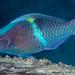 Yellowbar Parrotfish, terminal phase - Scarus schlegeli