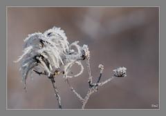 #AM Bokeh hivernal (thierrymazel) Tags: bokeh profondeur de champ hiver winter plante gel givre
