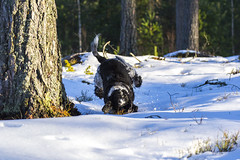 Sometimes you crash   #dog #cockerspaniel #snow #winter #nature (anderswiik2) Tags: cockerspaniel winter nature dog snow