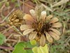 Zinnia peruviana (L.) L. (carlos mancilla) Tags: zinniaperuvianall gallitodemonte frutos fruits olympussp570uz