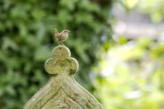 Wren standing proud (Steven Vacher) Tags: bird cemetery graveyard birds canon wren 400mm canon6d