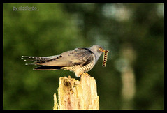 Cuckoo . (Diddley Bo) Tags: