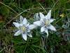 Stella alpina dell'Appennino - 1 (Luca Pisani) Tags: stella parco alpina natura di montagna appennino borghese norcia castelluccio nazionale sasso sibillini leontopodium nivale appenninica