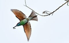 s Jun23_Bee Eater___DSC4726 V1 (Andrew JK Tan) Tags: bird wings flight prey predator beeeater merops bluethroatedbeeeater