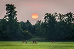 New Day (RG Rutkay) Tags: summer sun nature field sunrise landscape scenic deer tranquil grazing lyndeshoresconservationarea