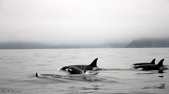 5 orcas (K. Haagestad) Tags: norway pod whales lofoten reine orcas