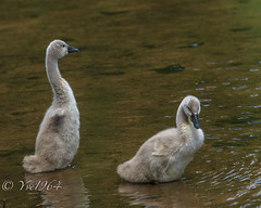 On the Pond (yve1964) Tags: bird canon geese swan babies beak feather chicks sygnet gooe