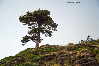 Etna , volcanic bonsai