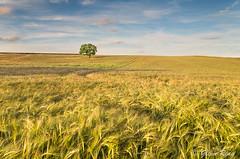 A Trip Down the Local (Glenn D Reay) Tags: sunset tree field barley clouds golden pentax vibrant crops solitary goldenhour k30 pentaxart glennreay