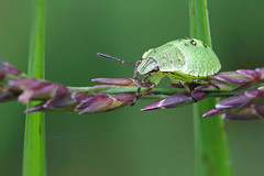 Green Shield Bug (3rd Instar) (John Balcombe) Tags: shropshire whixallmoss