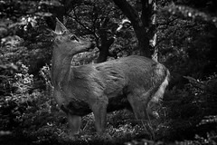 Huemul (A.S. Fotografa) Tags: wild mountain mountains nature animal forest walk deer adventure encounter huemul