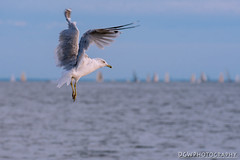 Heaven is not a place, and it's not a time. (dgwphotography) Tags: seagulls birds shoreline d600 connecticutshoreline gulfbeach 70200mmf28gvrii milfordphotomeetup