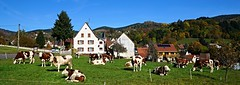 Les vaches au village  -  Cows in the village (Philippe Haumesser Photographies) Tags: outside paysages field pré prairie meadow landscapes landscape montagne montagnes mountain mountains village automne autumn panorama m vaches cows vache cow panoramique soultzeren alsace elsass france hautrhin 68 sonyilce6000 sonyalpha6000 sony 2016 ciel sky maisons houses forêt forest forests forêts arbre arbres tree trees clôture fence route road animal animals rural ruralité