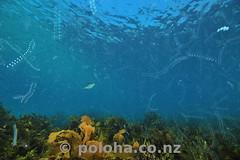 Plankton above undersea meadow (Daniel Poloha) Tags: plankton jelly bloom dense shallow ocean pacific meadow weed seaweed vegetation algae temperate