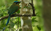Lesson's Motmot (AngusPritchard) Tags: belize birding youthbirding chaacreek motmot lessons forest