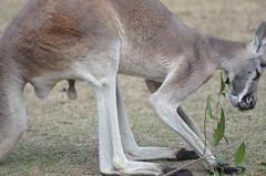 Red Kangaroo 3 (landon.proctor) Tags: australia marsupial balls testicles genitals