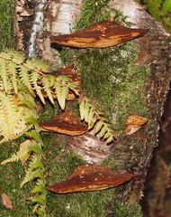 2016_11_0443 (petermit2) Tags: mushroom fungus fungi toadstool puffball pottericcarr potteric doncaster southyorkshire yorkshirewildlifetrust wildlifetrust ywt autumn bracketfungus
