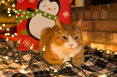Orville loaf (tehchix0r) Tags: cat cats kitty kitties cute cutecat cutekitty christmas holiday tabby christmascat holidaycat