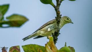 Boz Ötleğen (Sylvia borin) - Garden Warbler