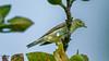 Boz Ötleğen (Sylvia borin) - Garden Warbler (omardaing) Tags: birds bird animals tree beautiful natural animal green wildlife wild warbler wing garden kuş pentax k10d sylvia bülbül ötleğen boz borin