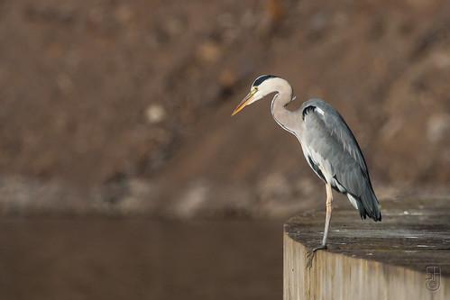 Grey Heron (Ardea cinerea)-7280