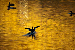 Sharing a Golden Moment (LongInt57) Tags: common merganser bird duck water pond flying landing wings wake splash reflecting reflection yellow golden black white nature wildlife kelowna bc canada okanagan silhouette