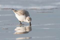 Sanderling (Shane Jones) Tags: sanderling wader bird wildlife seabird nature nikon d500 200400vr tc14eii