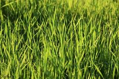 September...🌞 (martinap.1) Tags: green nature d3300 nikon grass gras wiese
