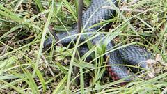 SLN_4316 (sonja.newcombe) Tags: snake redbelliedblacksnake australia wildlife snek