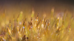 moss in winter (bugman11) Tags: winter macro moss flora canon 100mm28lmacro nature drop drops droplet droplets water bokeh nederland thenetherlands 1001nights 1001nightsmagiccity thegalaxy