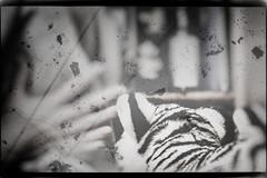 Die Hand des Tigers (wolfiwolf) Tags: wolfiwolf wolfiart splendid art tiger hand doppelbelichtung staubundfussel vignette ersterbutler zweiterbutler er i antenne