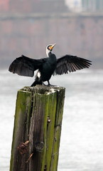 IMG_3891a (Time Grabber) Tags: timegrabber cardiffbay southwales freshwaterbay cormorant