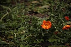 After the snow (mazzottaalessandra) Tags: fiori pianta verde secco giardino contrast arancione colors canon snow