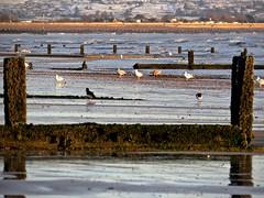 7007 Five star bird restaurant at Littlestone-on-sea beach (Andy - Busyyyyyyyyy) Tags: 20170113 bbb beach birds feeding ggg groyne kent romneysands sand sss