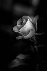 Rose (mellting) Tags: eskilstuna lägenheten platser matsellting mellting nikkor5018 nikon nikond7000 sverige sweden rose ros rosa flower plant bnw blackandwhite monocrome