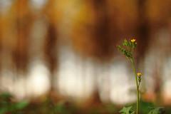 八德落羽松 (Lavender0302) Tags: 落羽松 八德 桃園 台灣 taiwan flowers carlzeissplanar t 1750mm cymount