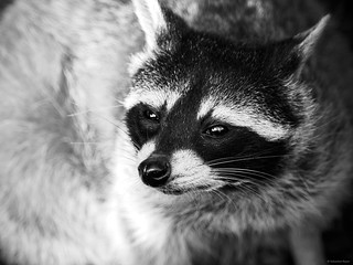 Sweet Raccoon - Greifvogelpark Saarburg, Germany