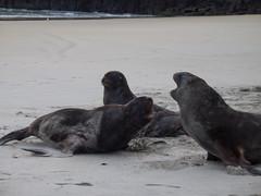 426 - Lions de mer qui se battent