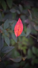 Diferente (eliblau1) Tags: closeup bright light texture park growth flower fall color garden nikon nature leaf