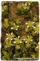 Honckenya peploides 'Sea Sandwort' (farmer dodds) Tags: edible herb sandwort codurham caryophyllaceae crimdondene honckenya honckenyapeploides seasandwort