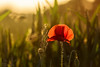 158.365.2015 - Poppy Love :) (Claire Plumridge) Tags: sunset red wild flower nature backlight village eveningsun poppy backlit 365 day158 chieveley beautyinnature 365project 2015yip 365the2015edition 3652015 2015ayearinpictures transculscent 1583652015