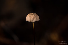 Fungi (Dave Bosworth Photography) Tags: nikon australia fungi tasmania oldina davebosworth d7200 nikond7200 2bid815