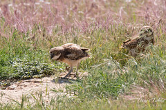 The female adult chases her young ones back to the burrow.