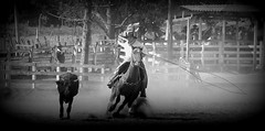 Um certo tiro de lao (Eduardo Amorim) Tags: brazil horses horse southamerica brasil caballo cheval caballos lazo kuh cow rind cattle cows ox ganado cavalos oxen mucca pferde cavalli cavallo cavalo gauchos pferd riograndedosul pampa bois khe vache vaca vacas campanha brsil vaches boi chevaux gaucho buey  lasso amricadosul mucche lao fronteira boeuf vieh gacho amriquedusud  gachos  boeufs buoi sudamrica rinder gado suramrica amricadelsur bueyes sdamerika mue pinheiromachado  bestiami btail americadelsud americameridionale campeiros campeiro