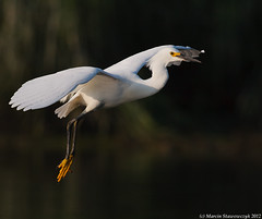 Just a flying snowy (v4vodka) Tags: bird heron nature animal snowy wildlife birding egret birdwatching newyork longisland snowyegret wadingbird czaplanadobna egrettathula