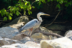 Heron on the Hunt (Astral Will) Tags: bird eye heron log rocks hunting greatblueheron hunt alliteration